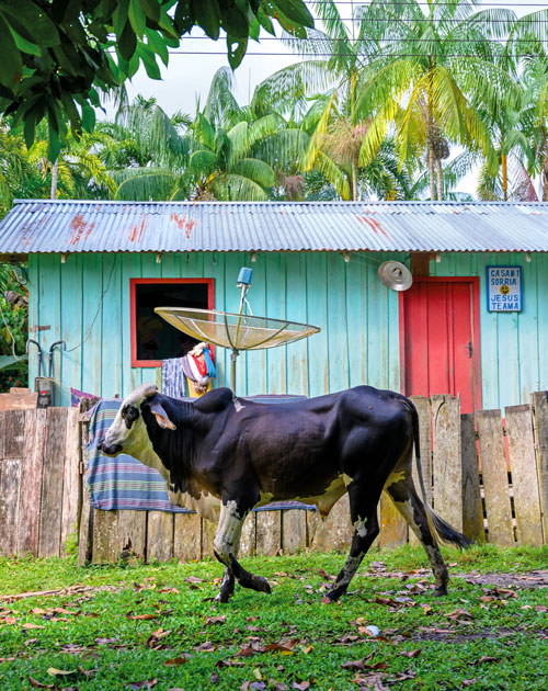 a young bull walks in front of a colorful building with a metal roof and palm trees behind it