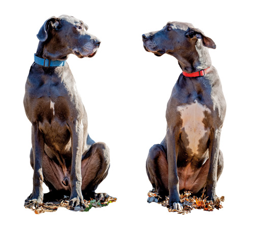 two great danes sit and look at one another